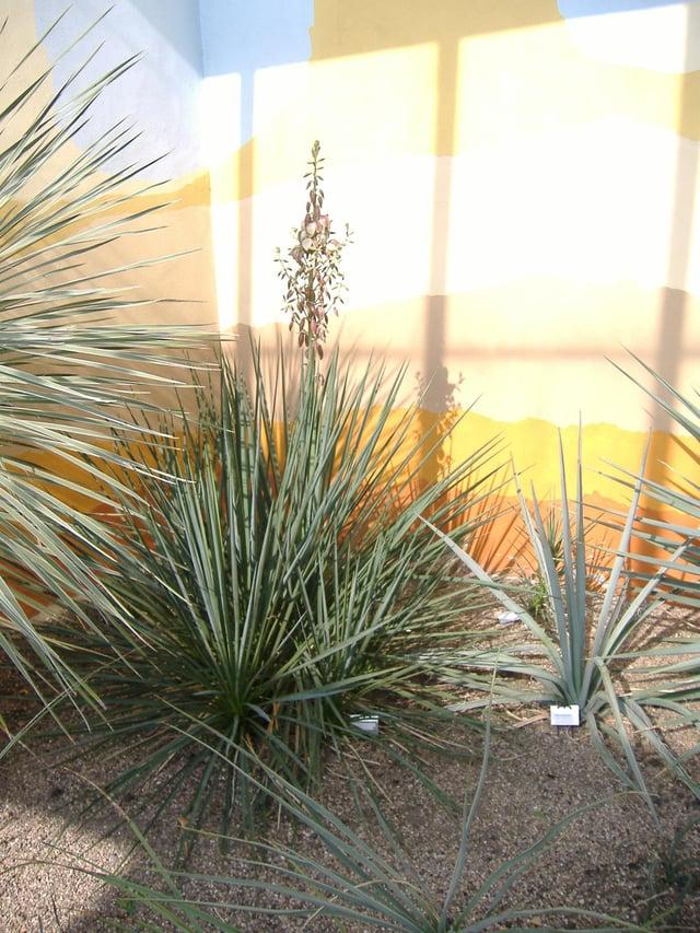 Yucca loquat at Renishaw Hall.