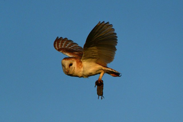 Nick Rhodes captured this action shot of a barn owl carrying its latest victim at  Avenue Country Park.