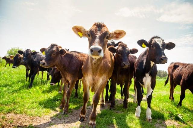 Walkers are being warned of livestock danger.