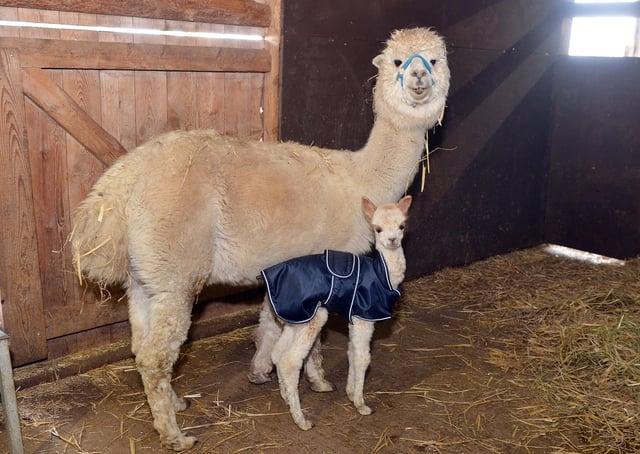 Turner the baby alpaca with his mum Tina at Willow Tree Farm.
