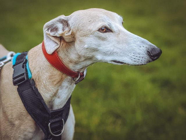 Three-year-old greyhound Scooby is looking for an experienced owner.