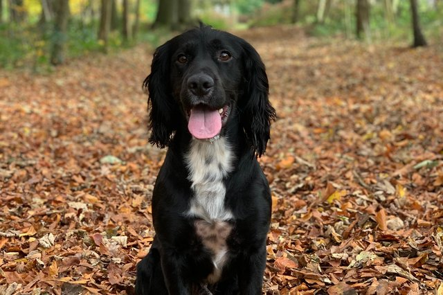 Edward the English Cocker Spaniel has been crowned Derbyshire Times Top Pet winner