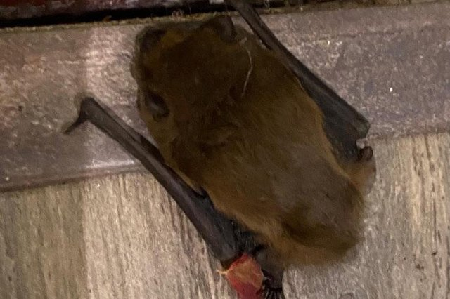 Betty the bat was rescued by Sophie and her family last week.