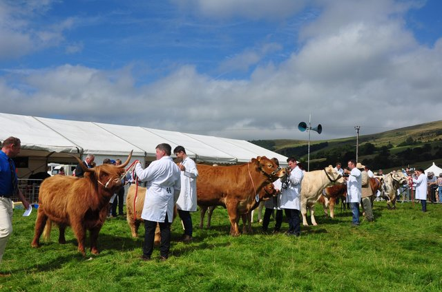 Interbred cattle being judged at a former Hope SHow