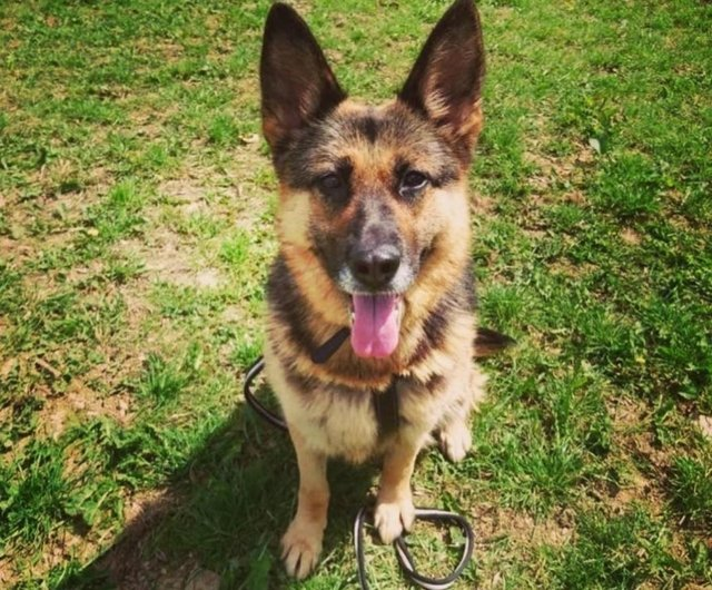 This gorgeous female German Shepherd is eight years old, has had little human contact and is nervous around people. Chesterfield Animal Rescue is looking for a single lady with no other animals to adopt Hatti.