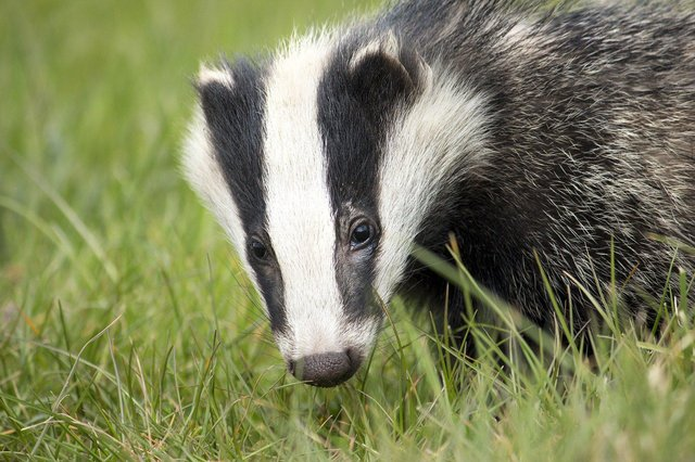 Police want people to look out for signs of badger baiting in Derbyshire. Image: Pixabay.