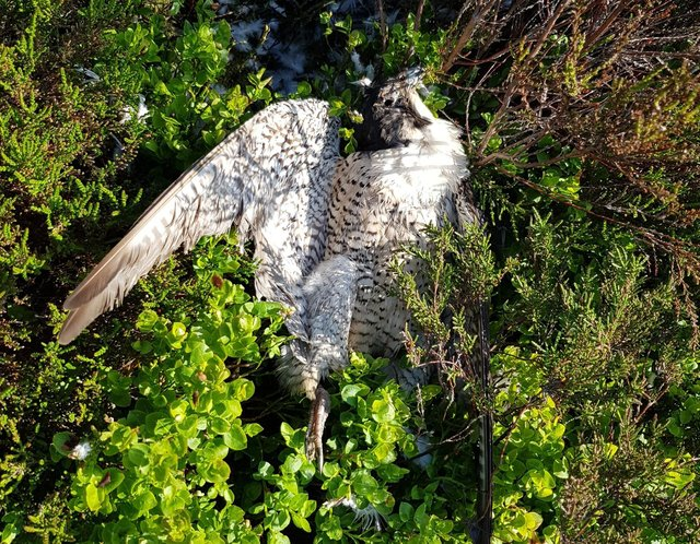 The poisoned peregrine. Picture by Mike Price.