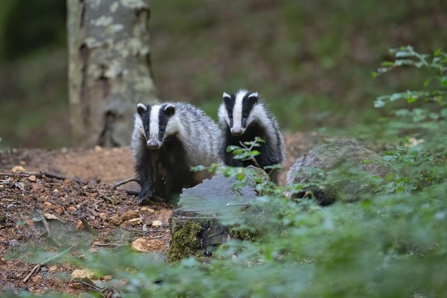 The 1000th badger was vaccinated in Derbyshire on Wednesday (Photo credit: Pixabay)