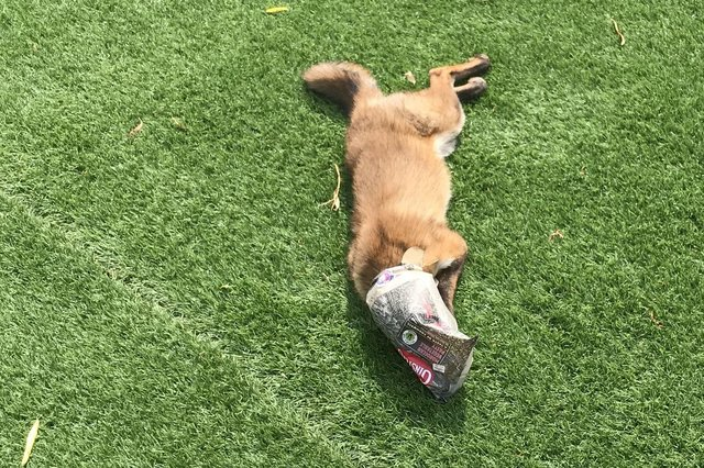 A fox got its head caught in an old Cornish pastie wrapper.