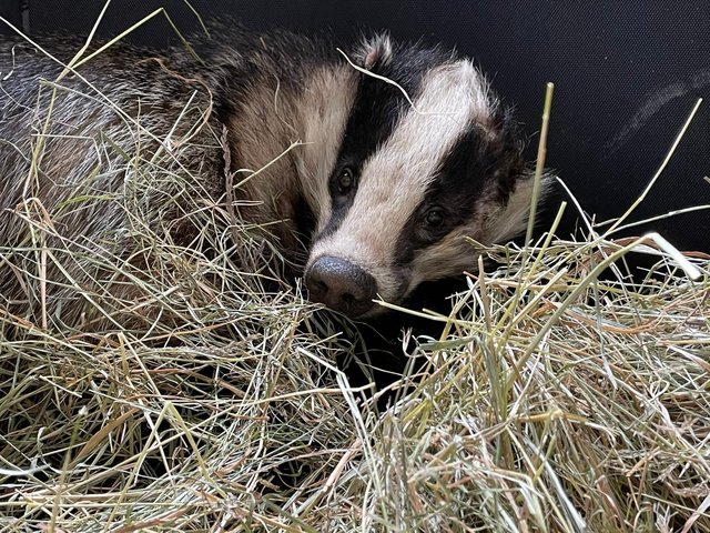 The badger, who travelled 20 miles through Derbyshire and Notts, is now recovering from his ordeal. Image: RSPCA.