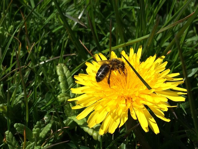 A honey bee on a dandelion could be a more common sight this month if verges are left to grow. Image: Trevor Dines, Plantlife.