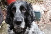 Sprocker Spaniel, Blue, has gone missing in Matlock.