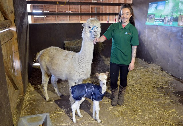 Farm assistant Eleanor Perkins with the new alpaca at Willow Tree Farm.